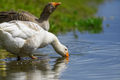 Geese on the shore river in the springtime - PhotoDune Item for Sale