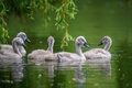 Five ygnets on summer day in calm water. Bird in the nature habitat - PhotoDune Item for Sale