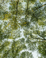 View from below up to lush,green forest canopy  and spreading branches of Big leaf maple and alder - PhotoDune Item for Sale