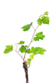 Grapevine isolated on white background - PhotoDune Item for Sale
