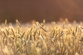 Field of ripe rye on sunny day - PhotoDune Item for Sale
