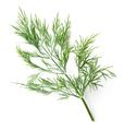 fresh dill leaves - PhotoDune Item for Sale