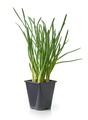 green onion in flower pot - PhotoDune Item for Sale