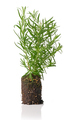 growing rosemary plant - PhotoDune Item for Sale