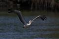 Pink-backed pelican (Pelecanus rufescens) - PhotoDune Item for Sale
