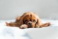 Adorable cavalier spaniel relaxing on white blanket - PhotoDune Item for Sale