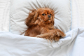Happy dog sleeping on the pillow - PhotoDune Item for Sale