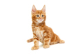 Small red Maine Coon kitten - PhotoDune Item for Sale