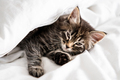 Cute little kitten sleeping covered with blanket - PhotoDune Item for Sale