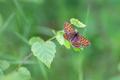 Beautiful butterfly - Melitaea athalia, Heath fritillary - PhotoDune Item for Sale