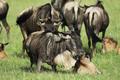 wildbeest - PhotoDune Item for Sale