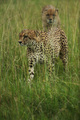 cheetah - PhotoDune Item for Sale