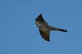 Common cuckoo (Cuculus canorus) - PhotoDune Item for Sale