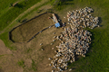 Aerial view of herd of sheep marked with colored paint grazing near a sheepfold - PhotoDune Item for Sale