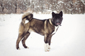 Alaskan Malamute dark color in the natural environment - PhotoDune Item for Sale