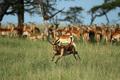 impala - PhotoDune Item for Sale