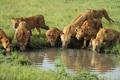 lions - PhotoDune Item for Sale