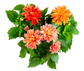 Isolated dahlia flower blossoms - PhotoDune Item for Sale