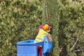 Gardener pruning a cypress on a crane. Seasonal trees maintenance - PhotoDune Item for Sale