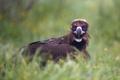 Black vulture (Aegypius monachus) - PhotoDune Item for Sale