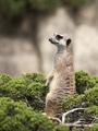 Meerkat on a green bush - PhotoDune Item for Sale