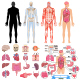 Human Internal Organs Icon Set - GraphicRiver Item for Sale