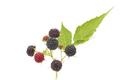 Black Raspberry - PhotoDune Item for Sale