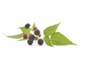 Fresh Black Raspberries - PhotoDune Item for Sale