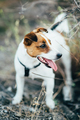 a small dog of the Jack Russell Terrier breed on a walk - PhotoDune Item for Sale