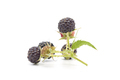 Black Raspberry Closeup - PhotoDune Item for Sale