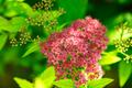 Blooming Spiraea Japonica - PhotoDune Item for Sale