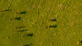 Argentine Chilean Patagonian landscape with freely grazing cows. Aerial wiew of group of cows in - PhotoDune Item for Sale