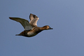 Common pochard (Aythya ferina) - PhotoDune Item for Sale