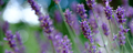 Lavender Field in the summer - PhotoDune Item for Sale