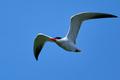 Caspian tern (Hydroprogne caspia) - PhotoDune Item for Sale