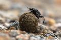 Dung beetle struggling - PhotoDune Item for Sale