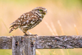 Little Owl perched on log - PhotoDune Item for Sale