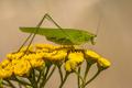 Sickle bearing bush cricket - PhotoDune Item for Sale