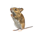 Ramping mouse isolated on white background - PhotoDune Item for Sale