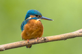 Common European Kingfisher - PhotoDune Item for Sale