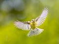 Bird in Flight on vivid garden background - PhotoDune Item for Sale