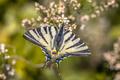 Scarce swallowtail on tree heath - PhotoDune Item for Sale