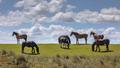 Wild horses large grazers - PhotoDune Item for Sale