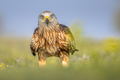 Red kite perched in green grass with flowers - PhotoDune Item for Sale