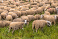Herd of sheep grazing - PhotoDune Item for Sale