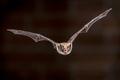 Flying pond bat - PhotoDune Item for Sale