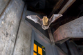 Pipistrelle bat flying inside building - PhotoDune Item for Sale