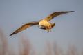 Yellow-legged gull flying - PhotoDune Item for Sale