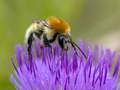 Great yellow bumblebee on flower crop - PhotoDune Item for Sale