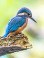 European Kingfisher looking down - PhotoDune Item for Sale